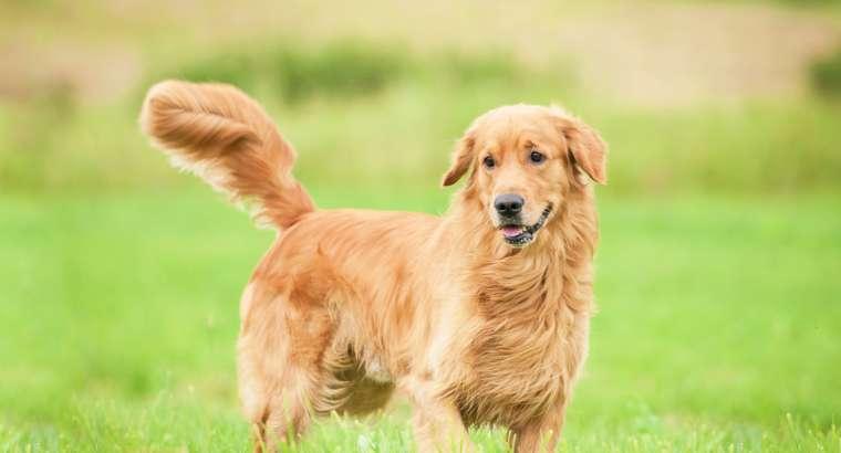 Gjuha e bishtit te qenit